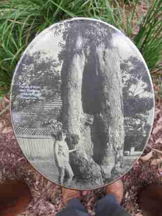 Scar Tree in Springvale Road 1965 Img5962